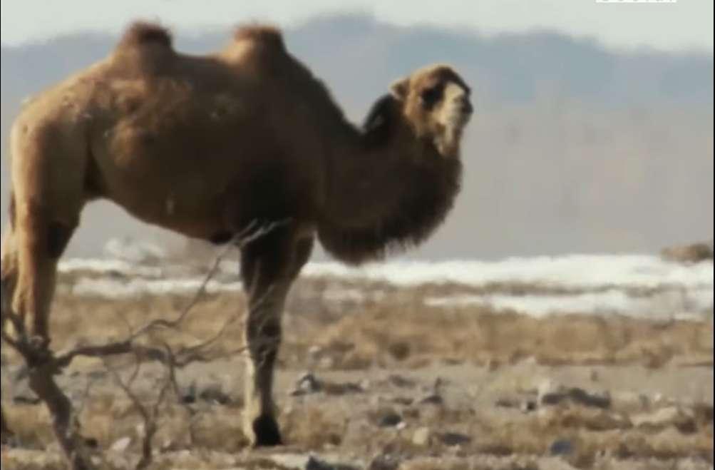 Bướu lạc đà chứa nước hay mỡ?